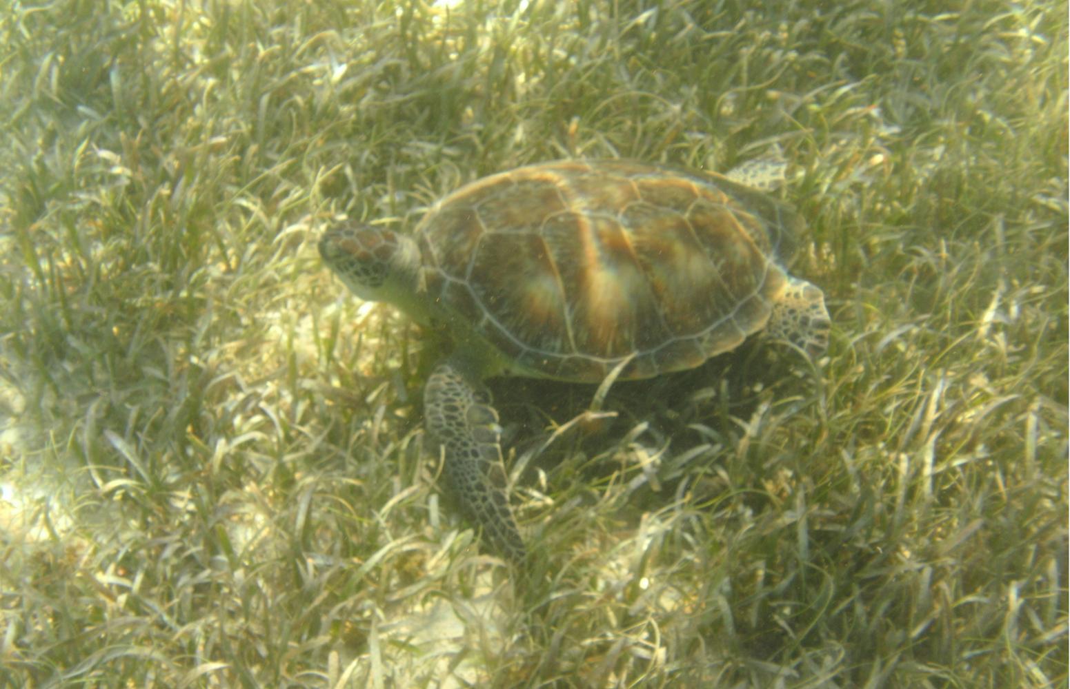 Akumal Bay Turtle
