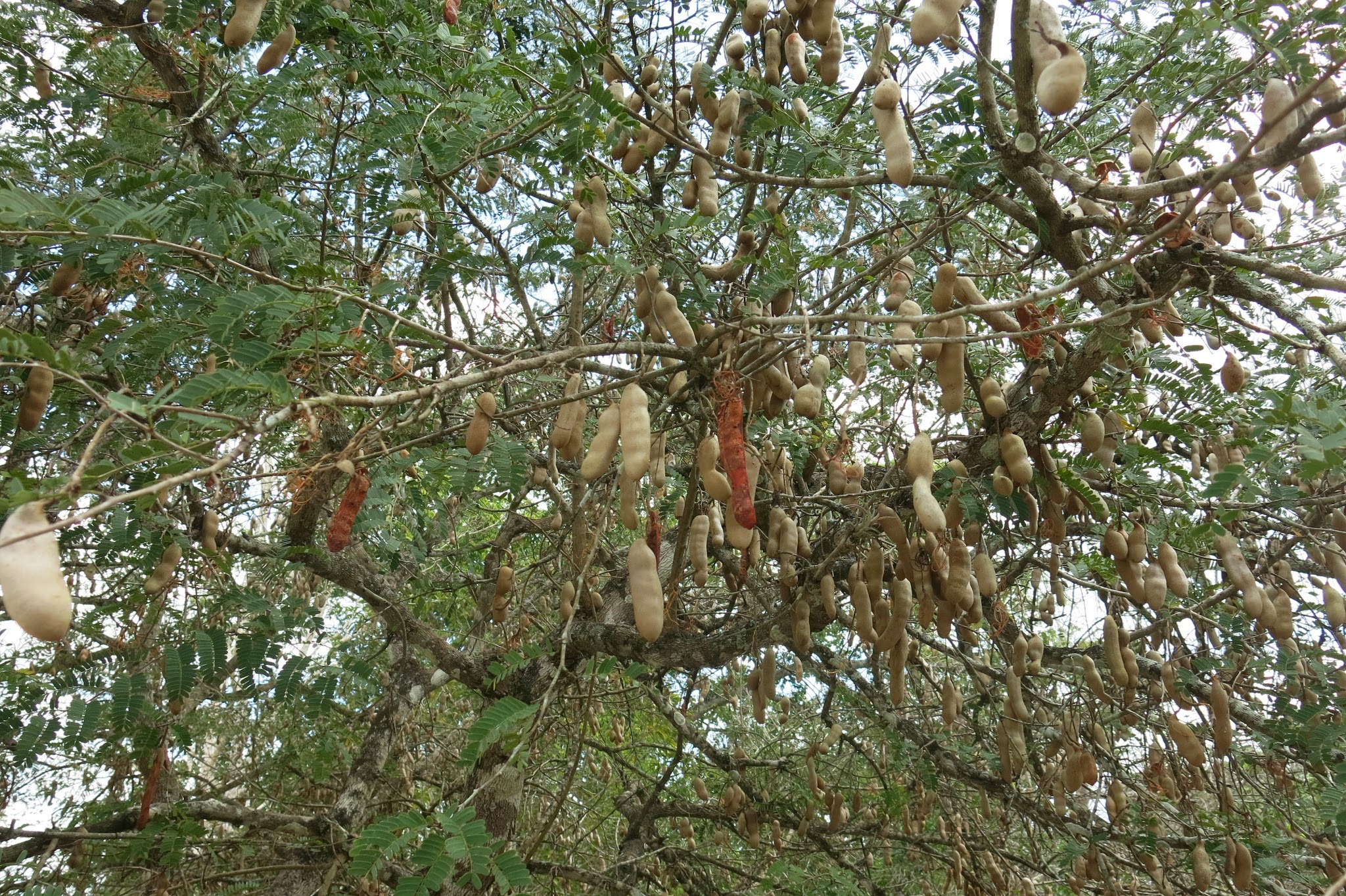 mexico minute  tamarind tree  awol americans, Beautiful flower