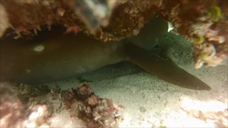 nurse shark xcalak
