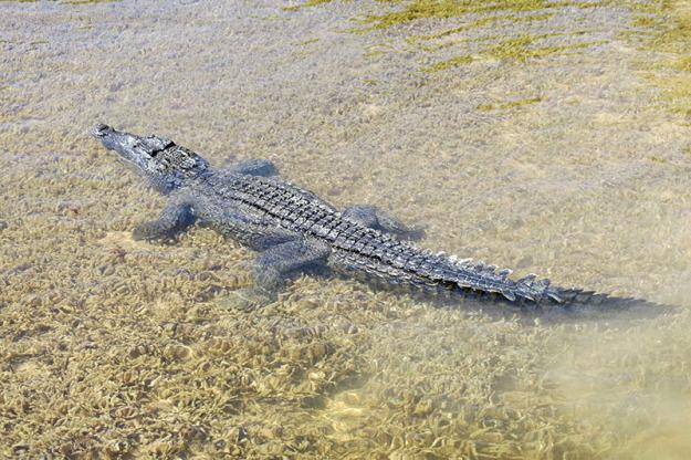 Crocodiles at Banco Chinchurro