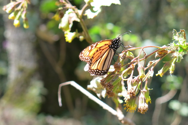 Monarch butterfly in migration