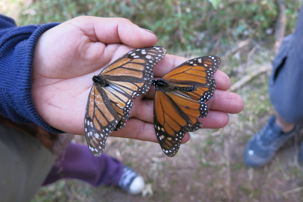 male female monarchs