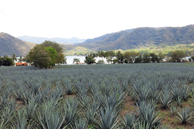 Blue Agave in Jalisco, Mexico