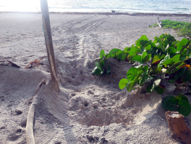 Green sea turtle nest