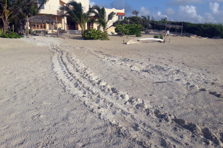 Green Sea Turtle Tracks