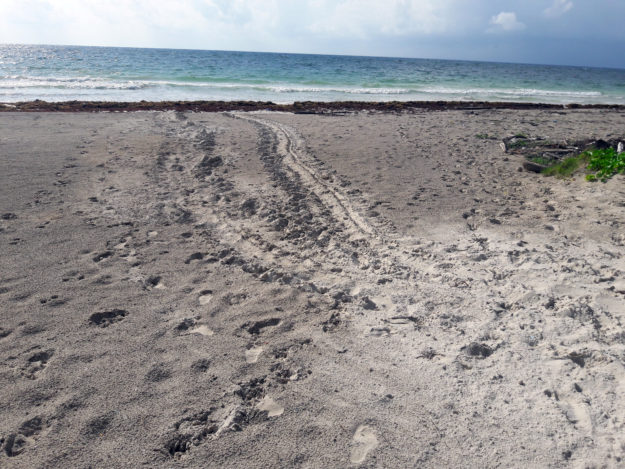 Green Sea Turtle Tracks