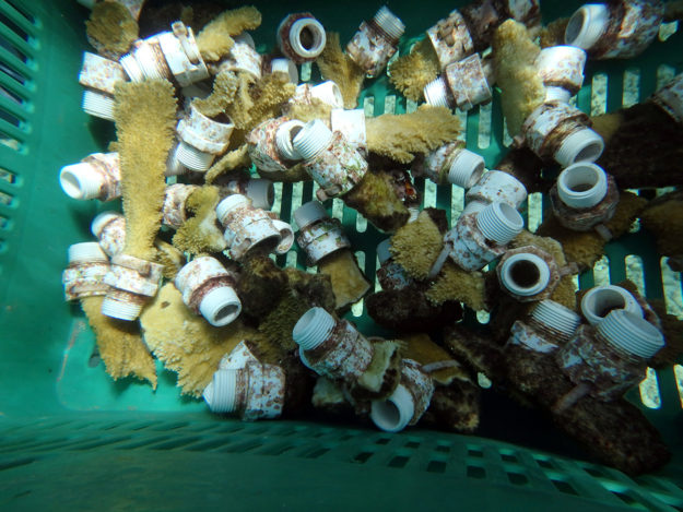 Harvested coral