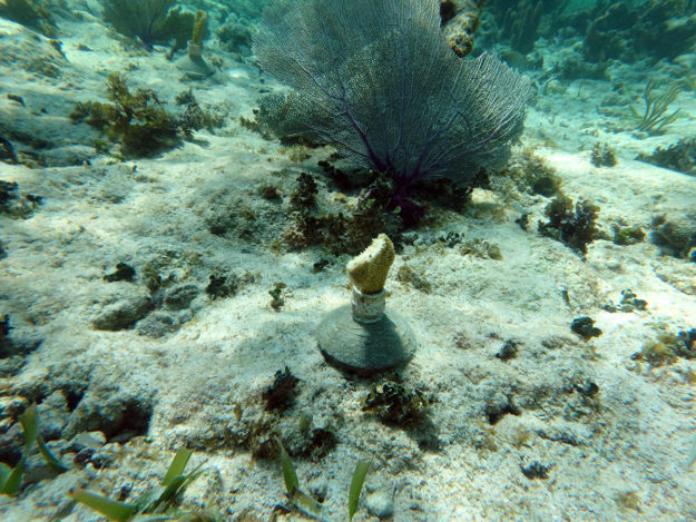 Transplanted coral