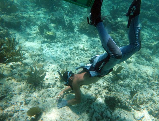 Transplanting elkhorn coral